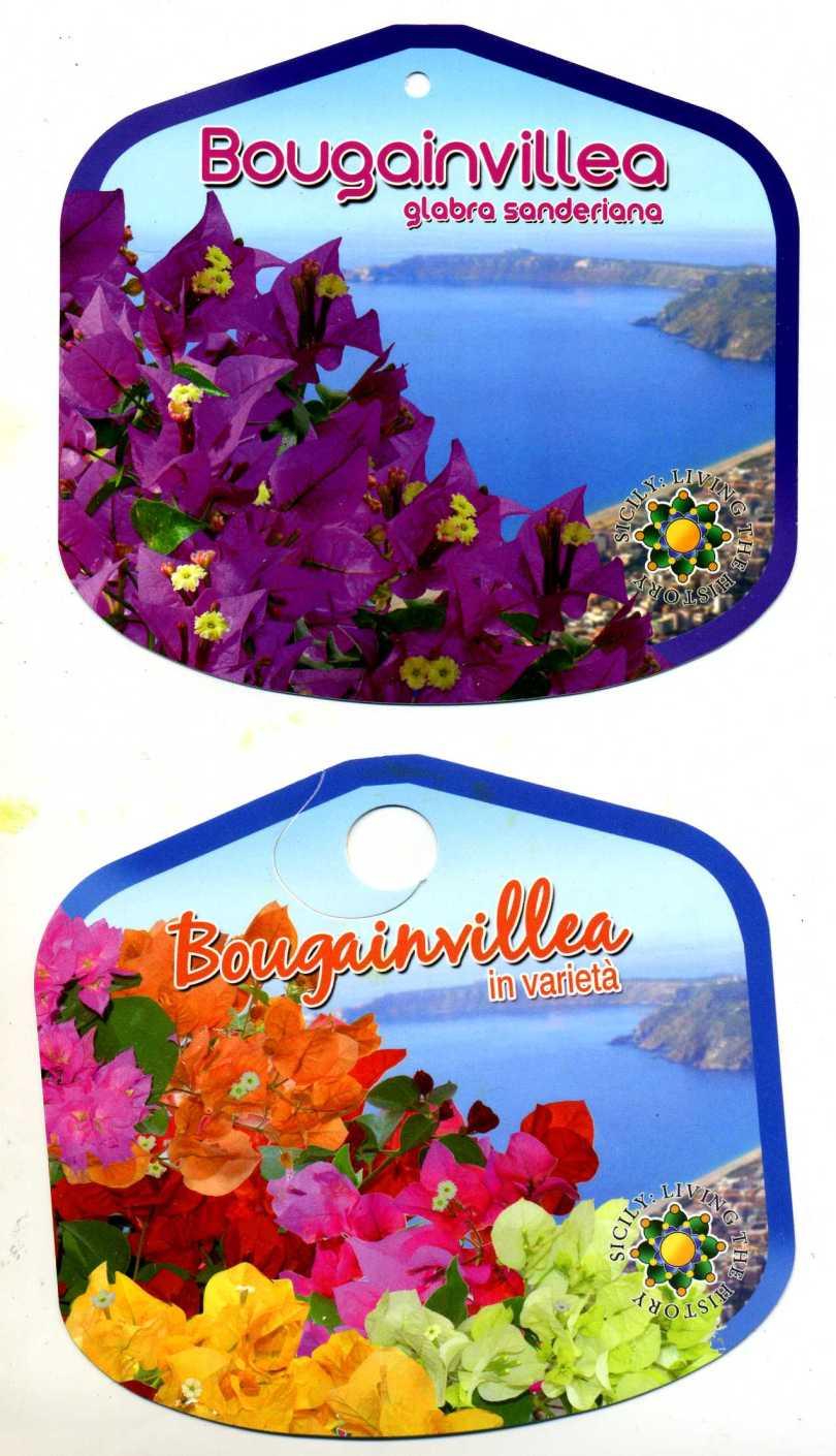 BOUGAINVILLEA3308