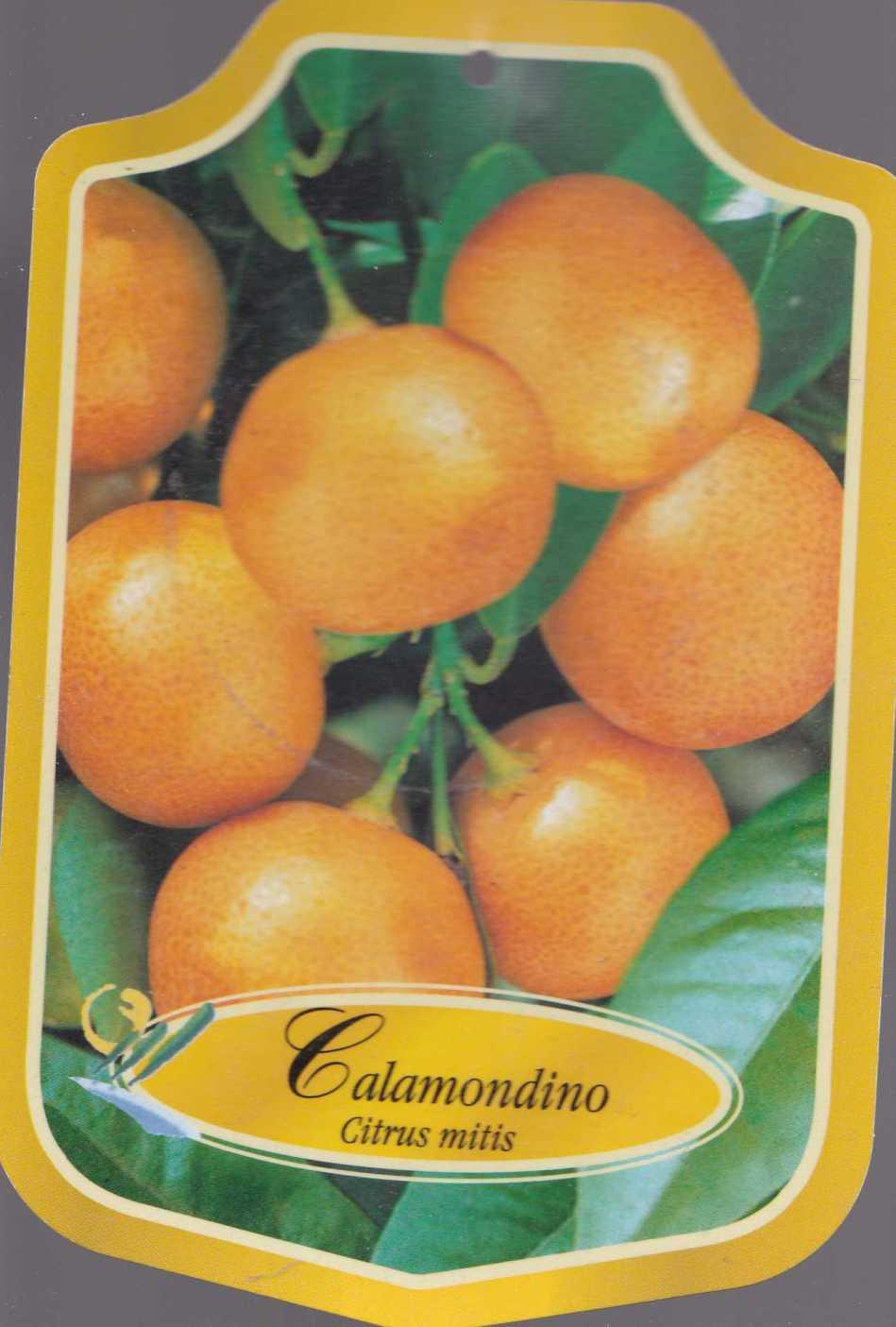CALAMONDINO905