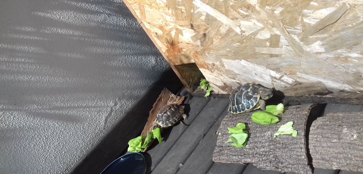 Tartarughe coatesa sul lario e dintorni for Lago per tartarughe