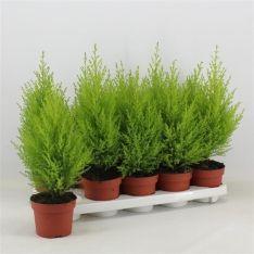 3-x-cupressus-goldcrest-wilma-evergreen-conifer-105cm