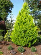 38162f8e4344abf2fde7d707beb67cba--cupressus-goldcrest-planting